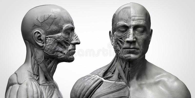 Human body anatomy muscles structure of a male. In black and white , front view and side view , 3d render vector illustration