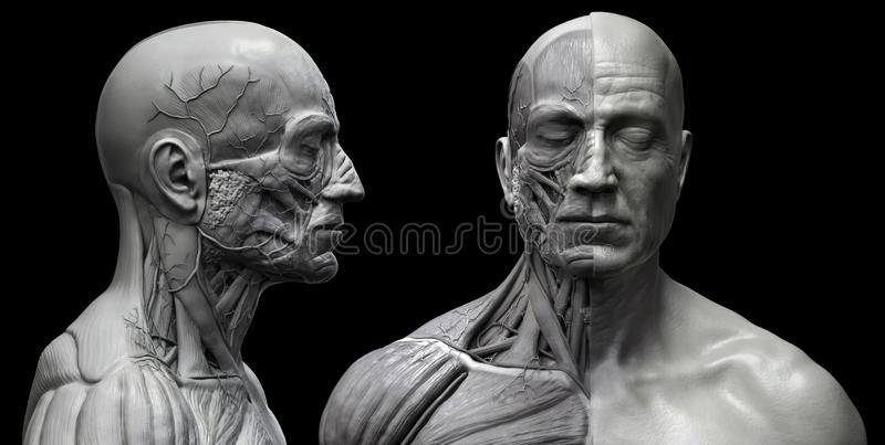 Human body anatomy muscles structure of a male. In black and white , front view and side view , 3d render stock illustration