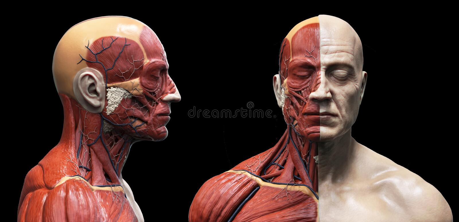 Human body anatomy muscles structure of a male. Front view and side view , isolated 3d render stock illustration