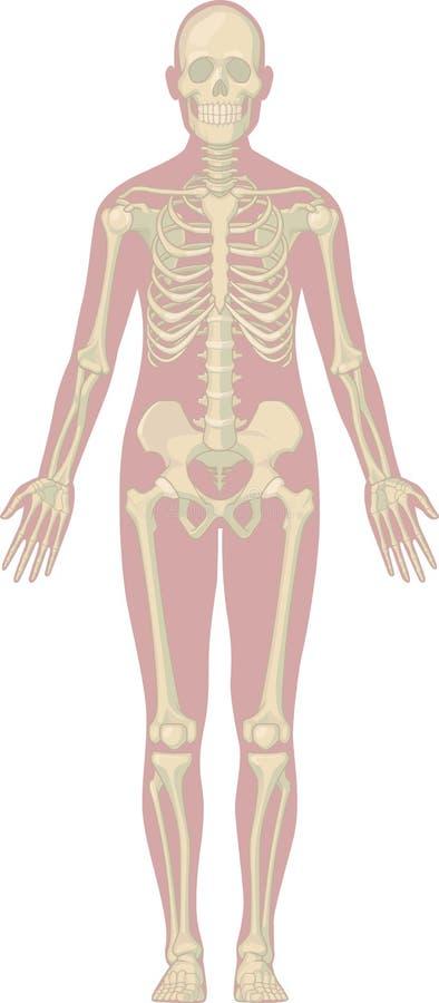 Human Body Anatomy Skeleton Stock Vector Illustration Of Care