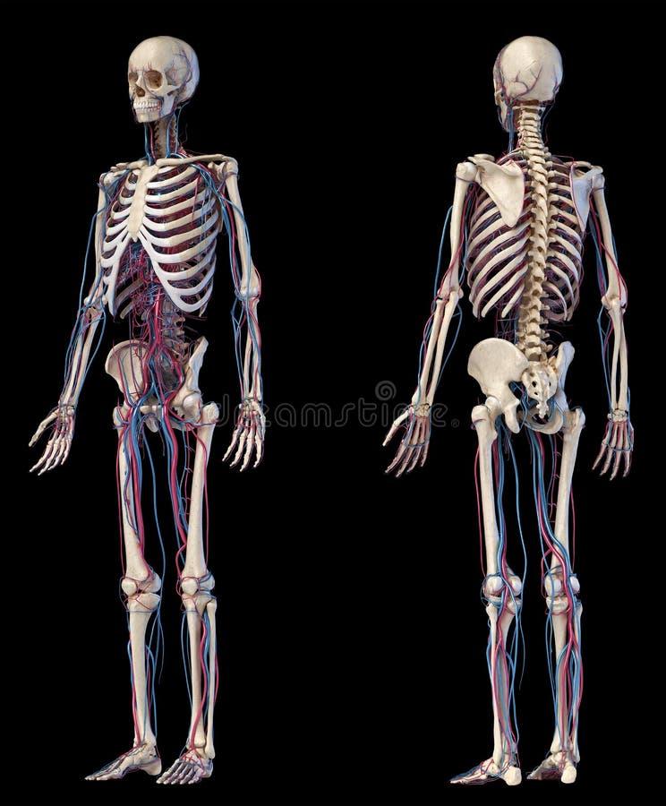 Human Body Anatomy. Skeleton With Veins And Arteries