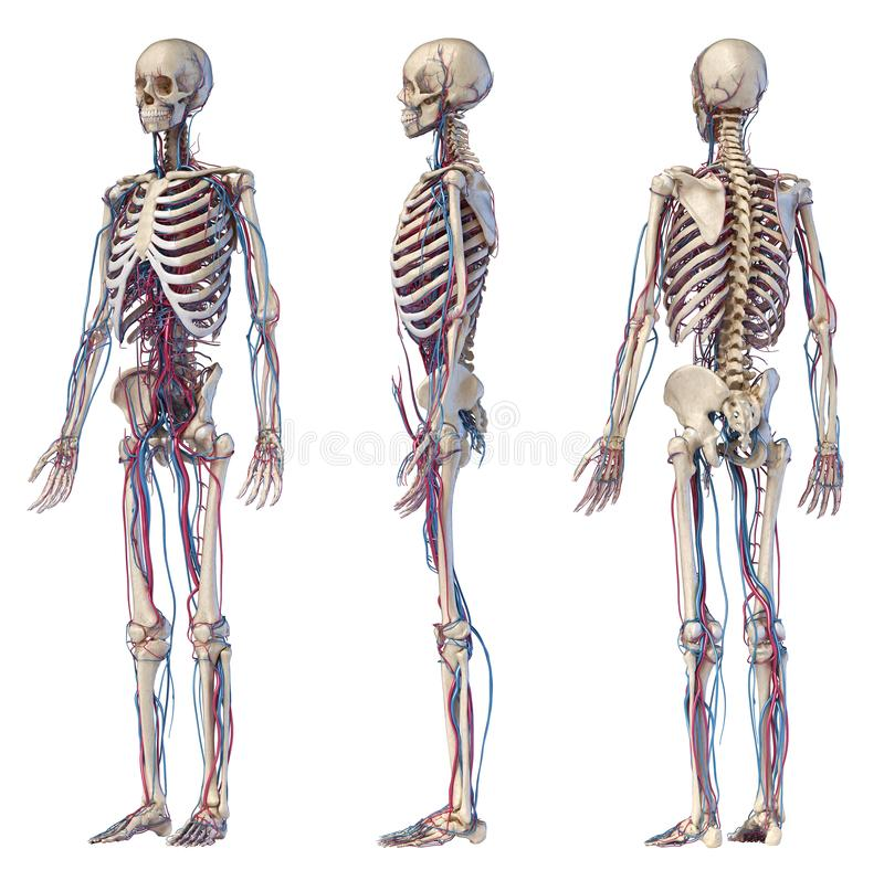 Human Body Anatomy. Hip, Legs And Hands Skeleton With