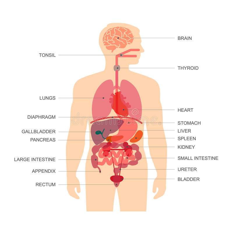 Human body anatomy stock illustration