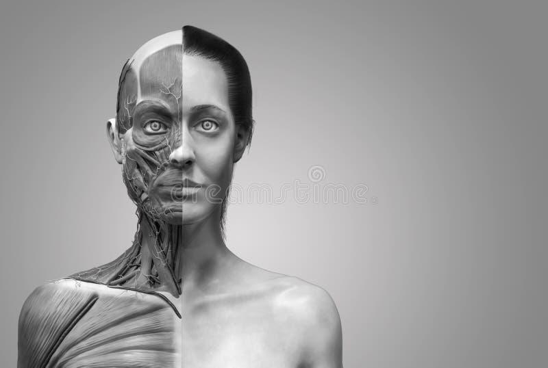 Human Body Anatomy Of Woman Stock Illustration - Illustration of ...