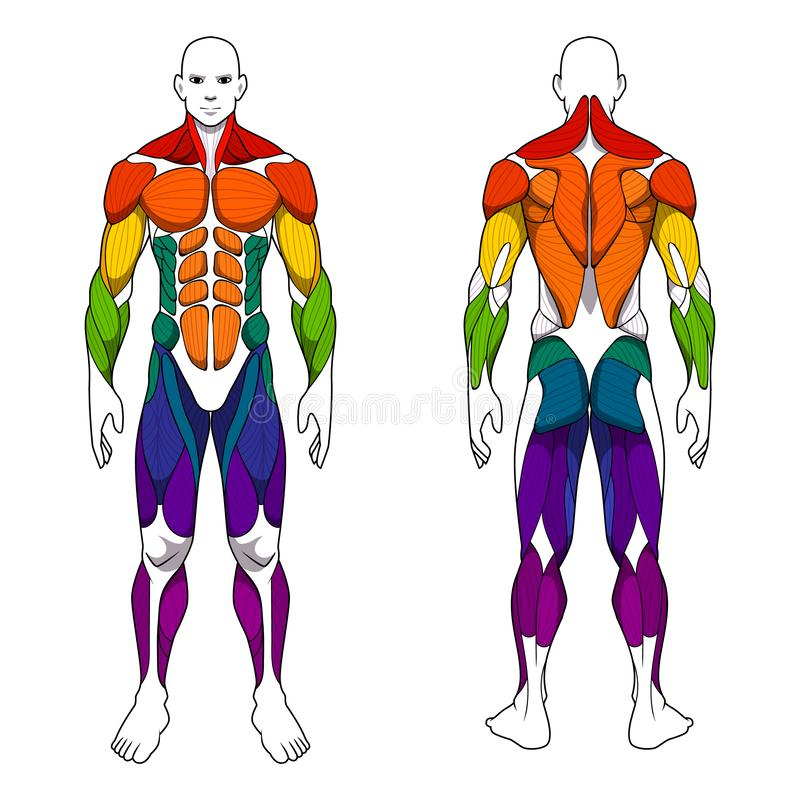 Human body anatomy workout, front and back muscular system of muscle groups parts . flat medical scheme poster of training healthc. Human body anatomy male man stock illustration