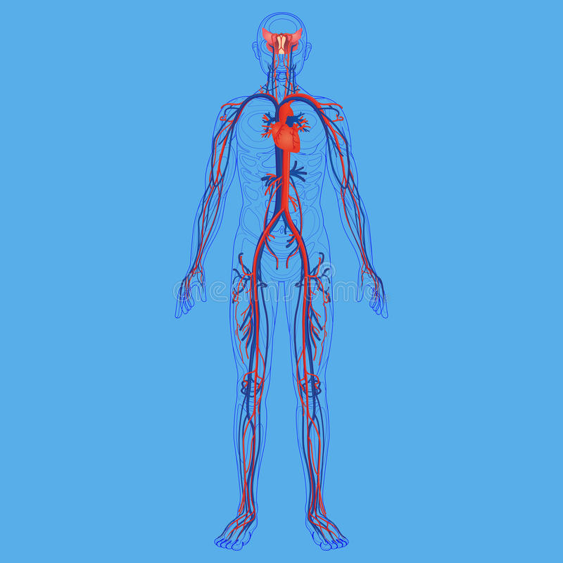 Free Human Body And Circulatory System Diagram Stock Images - 92407164