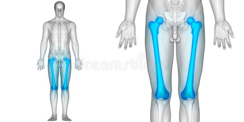Human Body Bone Joint Pains Anatomy Femur Bones Stock Illustration ...