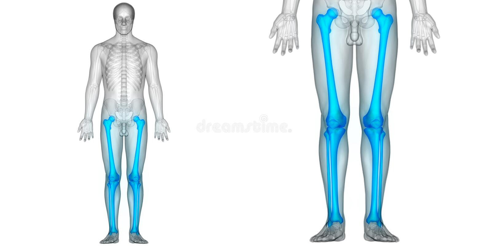 Human body bone joint pains anatomy femur with patella fibula and download human body bone joint pains anatomy femur with patella fibula and tibia bones stock ccuart Image collections