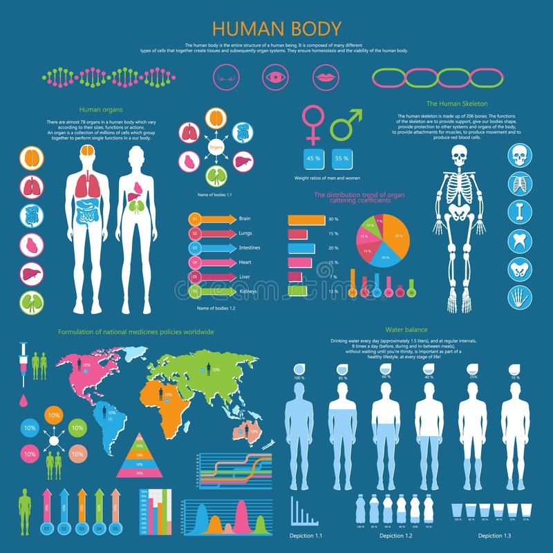 Human Body Detailed Infographic with Statistics. Human body infographic with organism structure, internal organs, whole skeleton, water balance and national royalty free illustration