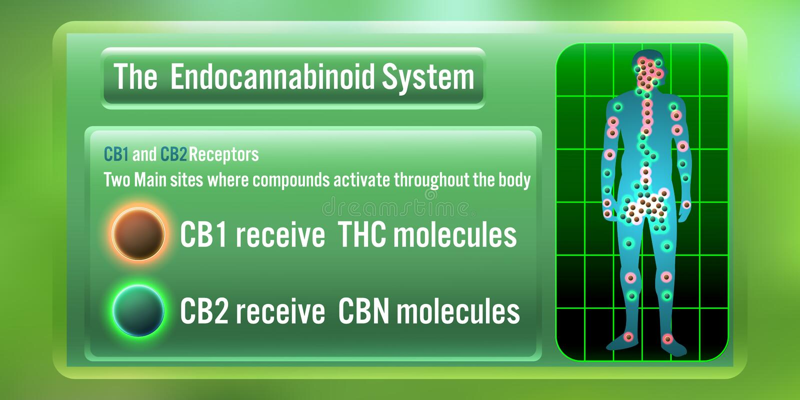The Human body endocannabinoid system,cb1, and cb2 receives THC, CBN Molecules. illustration royalty free illustration