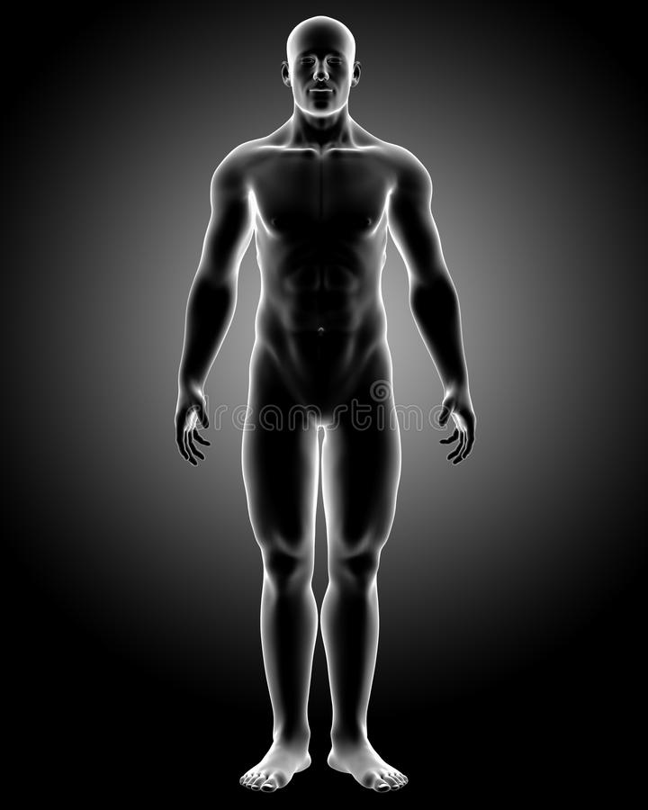 Download Human body with front pose stock illustration. Image of backbone - 24245252