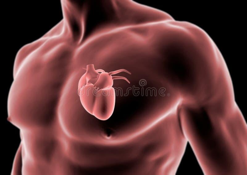 Human Body And Heart Anatomy Stock Illustration Illustration Of