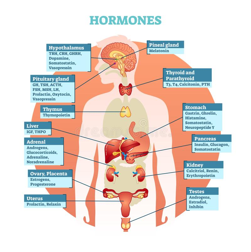 Human body hormones vector illustration diagram, human organ collection. Educational medical information. royalty free illustration