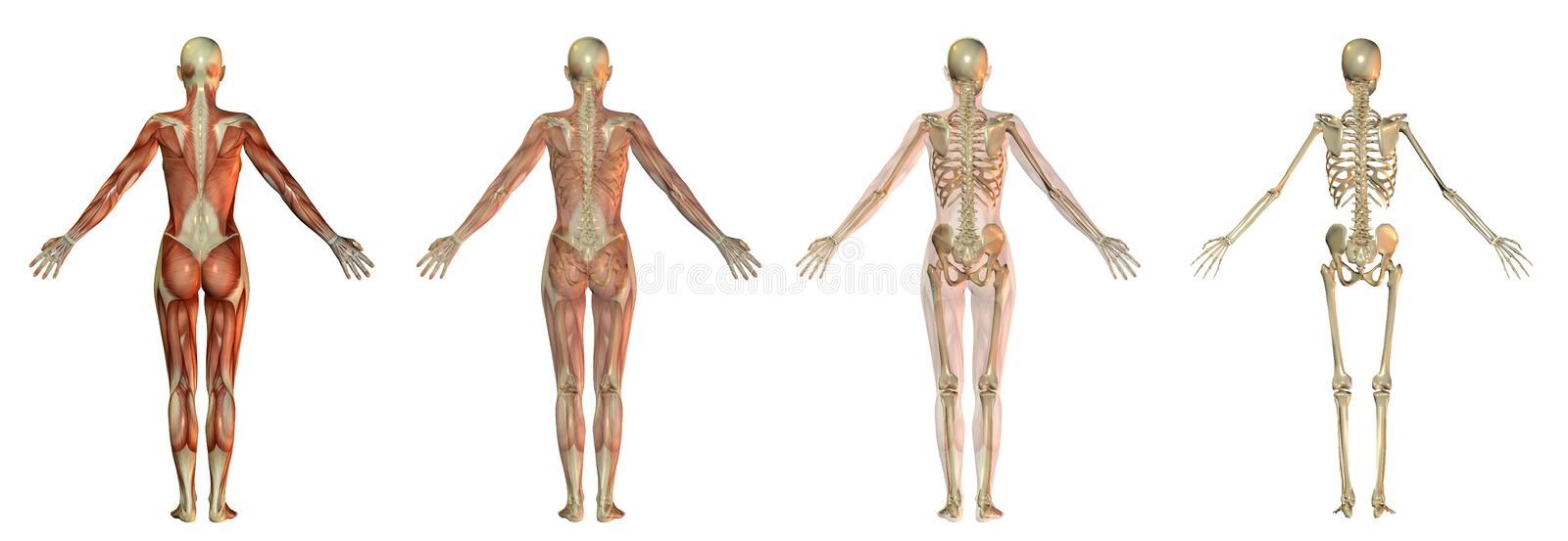Download Human body illustrations stock illustration. Image of medical - 13446175