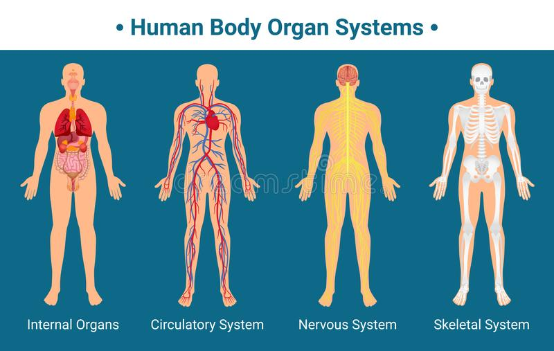Human Body Organ Systems Poster Stock Vector - Illustration of blood ...