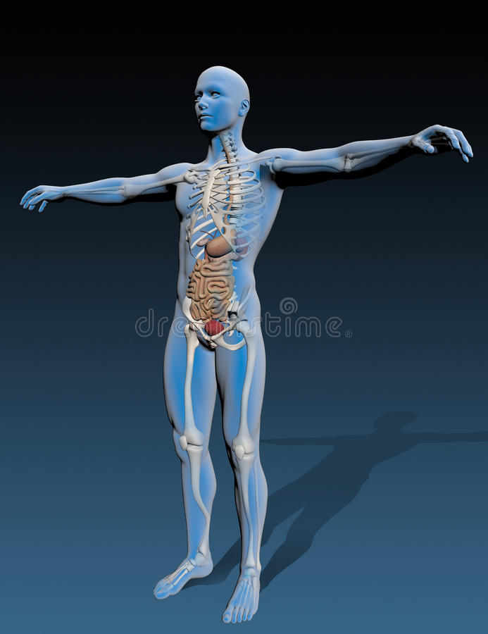 Human Body With Internal Organs Stock Illustration - Illustration of ...