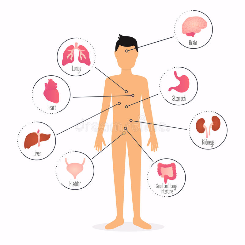 Human body with internal organs. Human body health care infographics. royalty free illustration