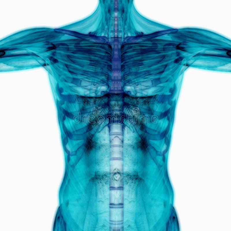 human body blank anatomy figure front view stock illustrations  u2013 47 human body blank anatomy