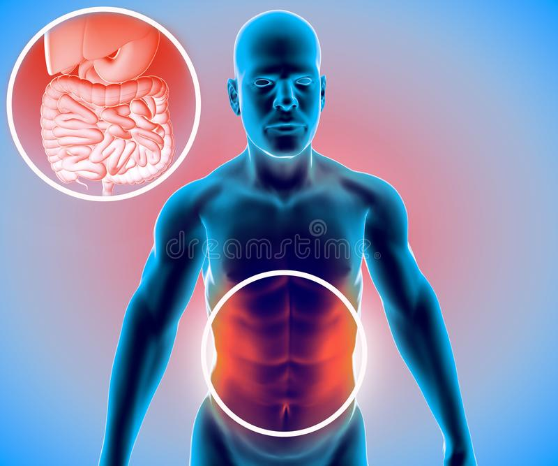 Human body, man, digestive system, anatomy. Intestine. Enlargement on the abdominal sector. Abdominal pain. 3d rendering stock illustration