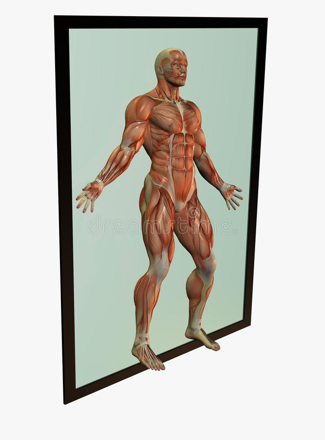 Download Human Body Muscles Royalty Free Stock Photography - Image: 13079087