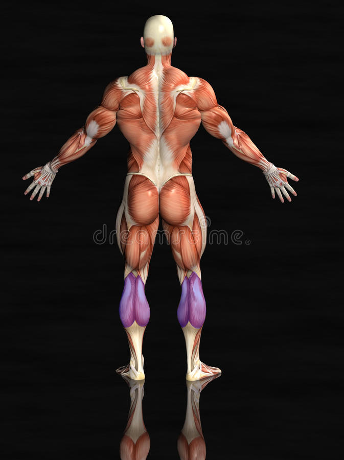Human Body Muscles Royalty Free Stock Photos