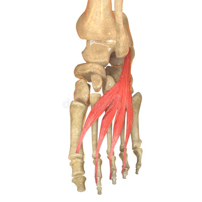 Human Body Muscles Anatomy Extensor Digitorum Brevis Stock