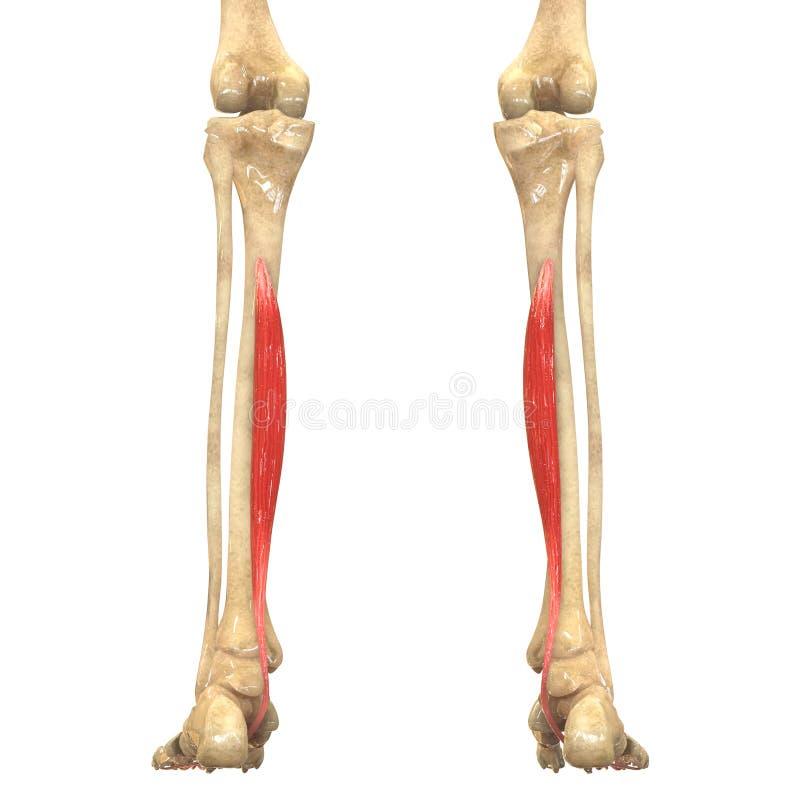 Human Body Muscles Anatomy (Flexor Digitorum Longus) Stock ...