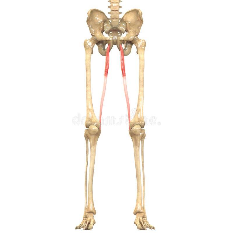 Human Body Muscles Anatomy (Gracilis) Stock Illustration ...