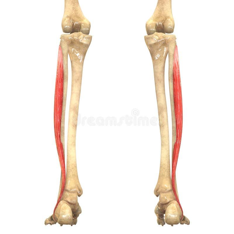 Human Body Muscles Anatomy (Peroneus Longus) Stock Illustration ...