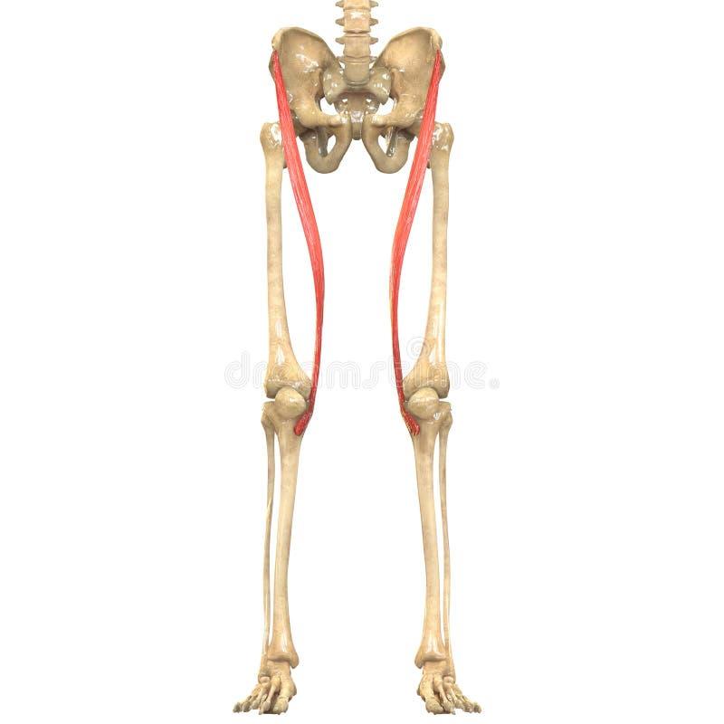 Human Body Muscles Anatomy Sartorius Stock Illustration ...