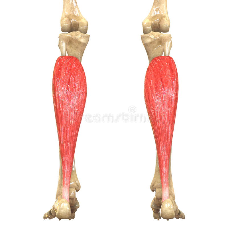Human Body Muscles Anatomy (Soleus) Stock Illustration ...