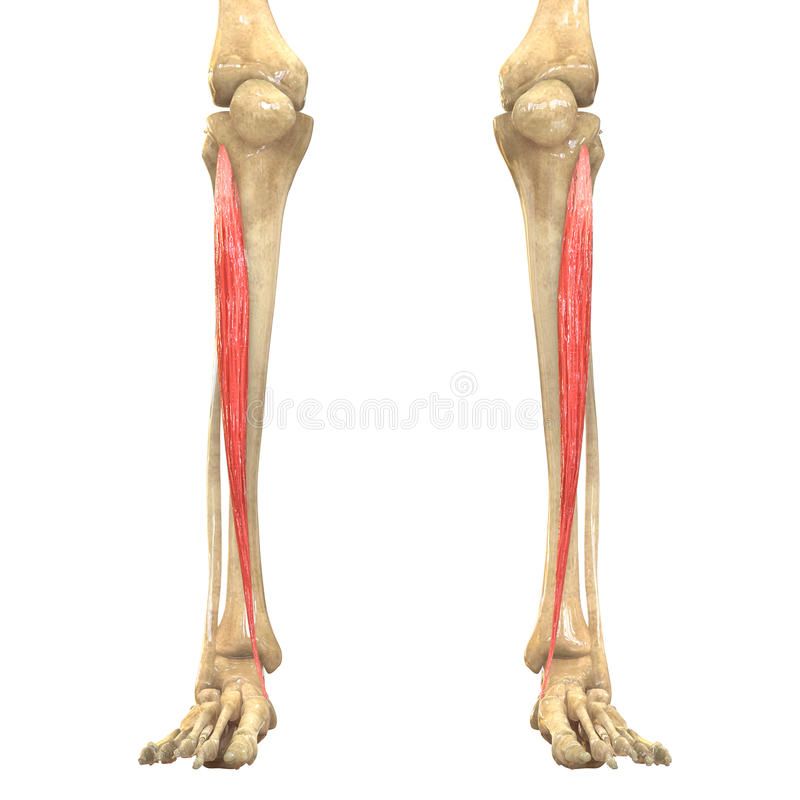 Groß Tibialis Anterior Fotos - Menschliche Anatomie Bilder ...
