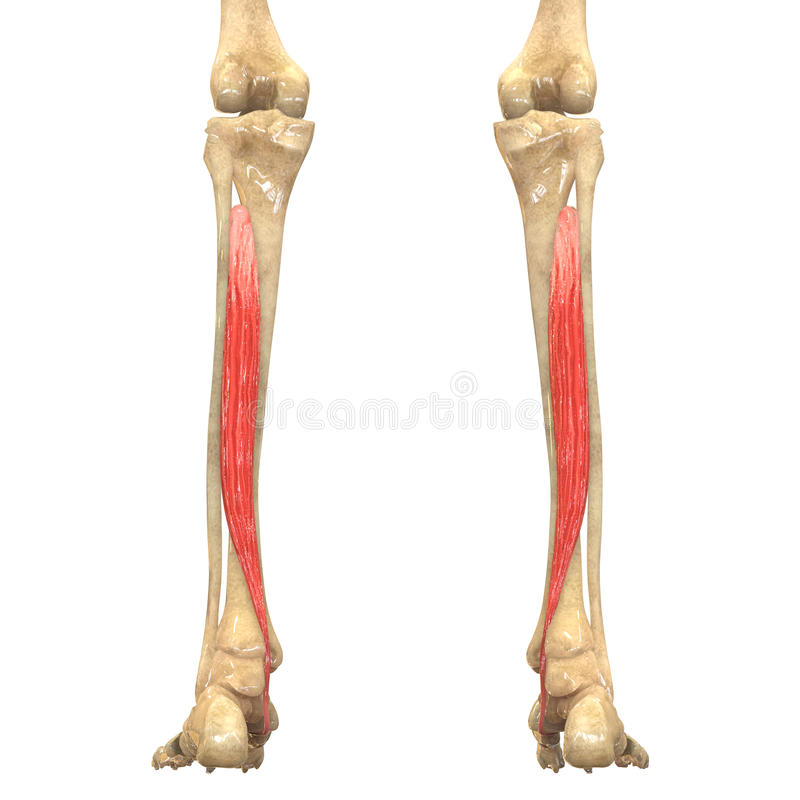 Human Body Muscles Anatomy (Tibialis Posterior) Stock Illustration ...