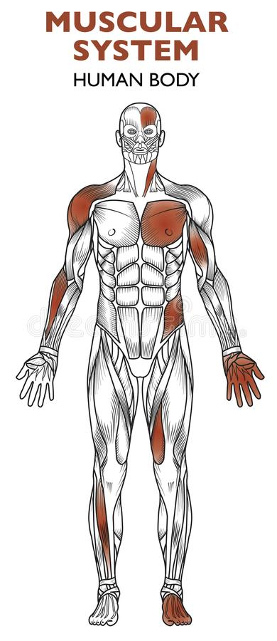 Human body, muscular system, man anatomy, frontal view stock illustration