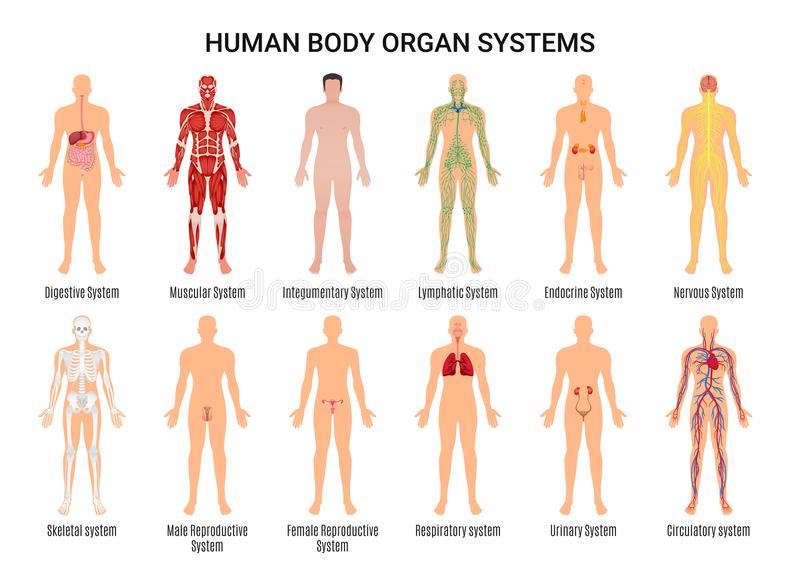 Human Body Organ Systems Poster. Main 12 human body organ systems flat educative anatomy physiology front back view flashcards poster vector illustration royalty free illustration