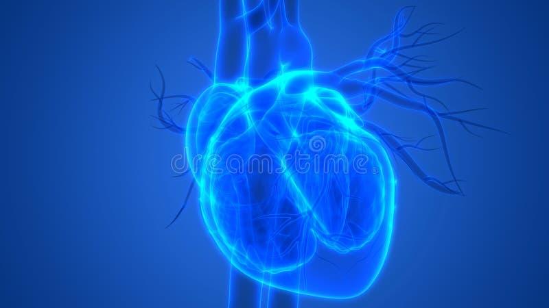 Human Body Organs Cardiovascular System with Heart Anatomy. 3D Illustration of Human Body Organs Cardiovascular System with Heart Anatomy stock illustration