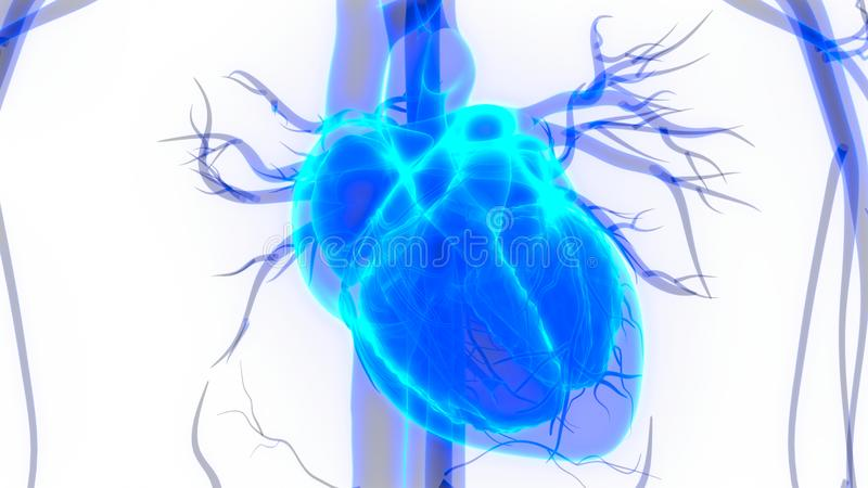 Human Body Organs Circulatory System with Heart Anatomy. 3D Illustration of Human Body Organs Circulatory System with Heart Anatomy royalty free illustration