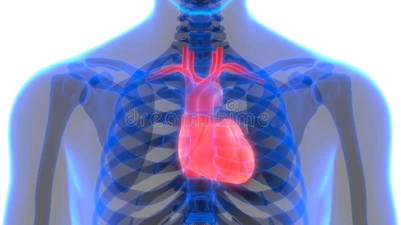 Human Body Organs Circulatory System with Heart Anatomy. 3D Illustration of Human Body Organs Circulatory System with Heart Anatomy stock illustration