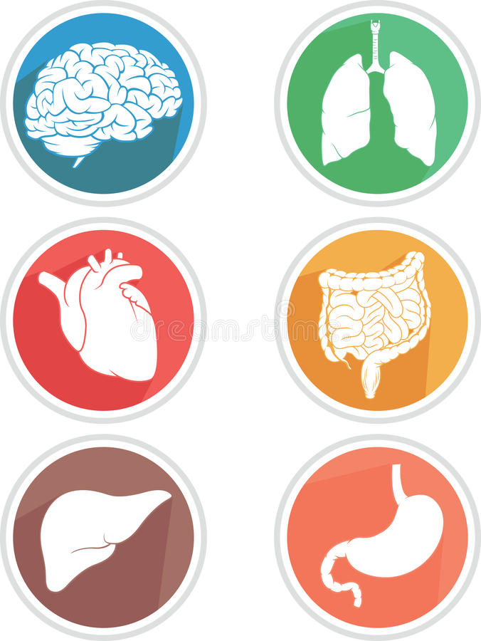 Human Body Organs Icon. A vector icon set of human body parts: brain, lungs, heart, liver, stomach and intestines. This vector is very good for design that need royalty free illustration