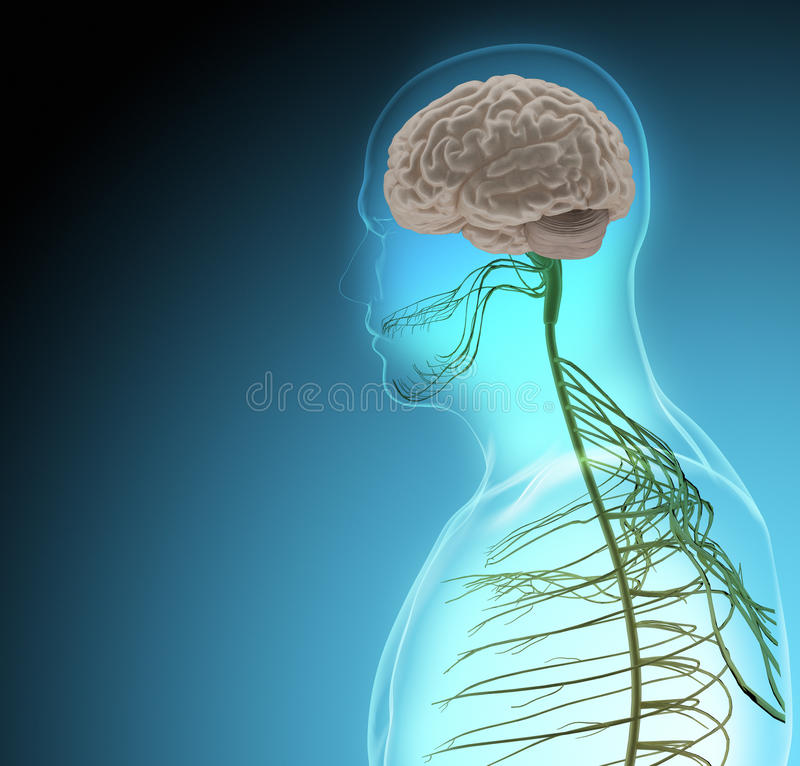 The human body (organs) by X-rays on blue background stock illustration