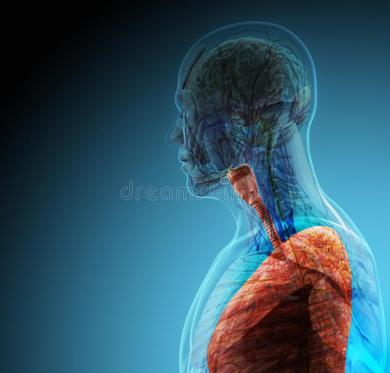 The human body (organs) by X-rays on blue background. High resolution royalty free stock photos