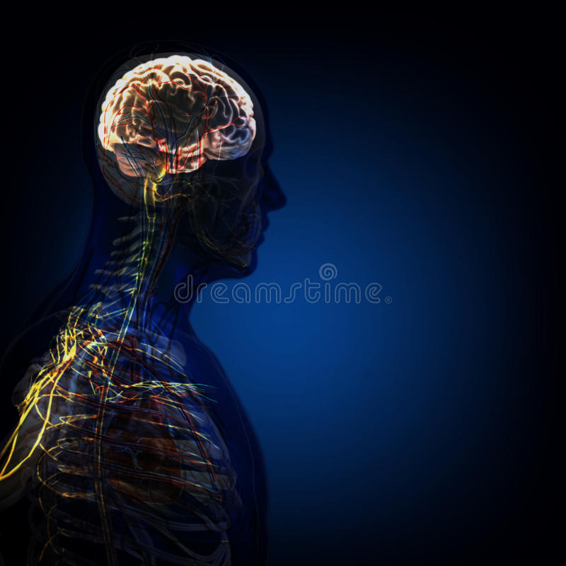 The human body (organs) by X-rays on blue background. High resolution royalty free stock images