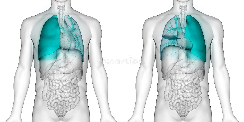 Human Body Organs Respiratory System Lungs Anatomy stock illustration