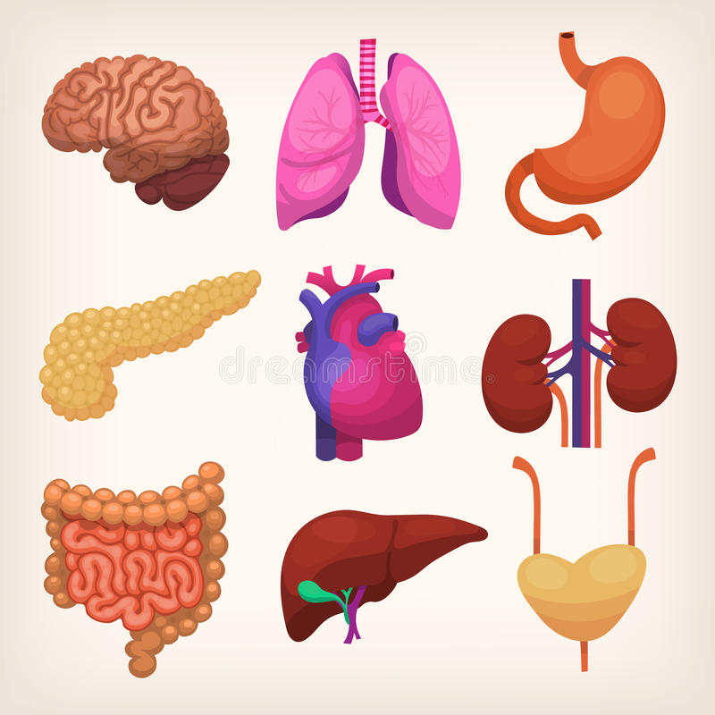 Human body organs royalty free illustration