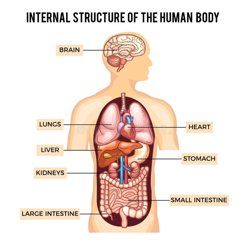 Human Body And Organs Systems. Vector Infographic Stock Vector ...