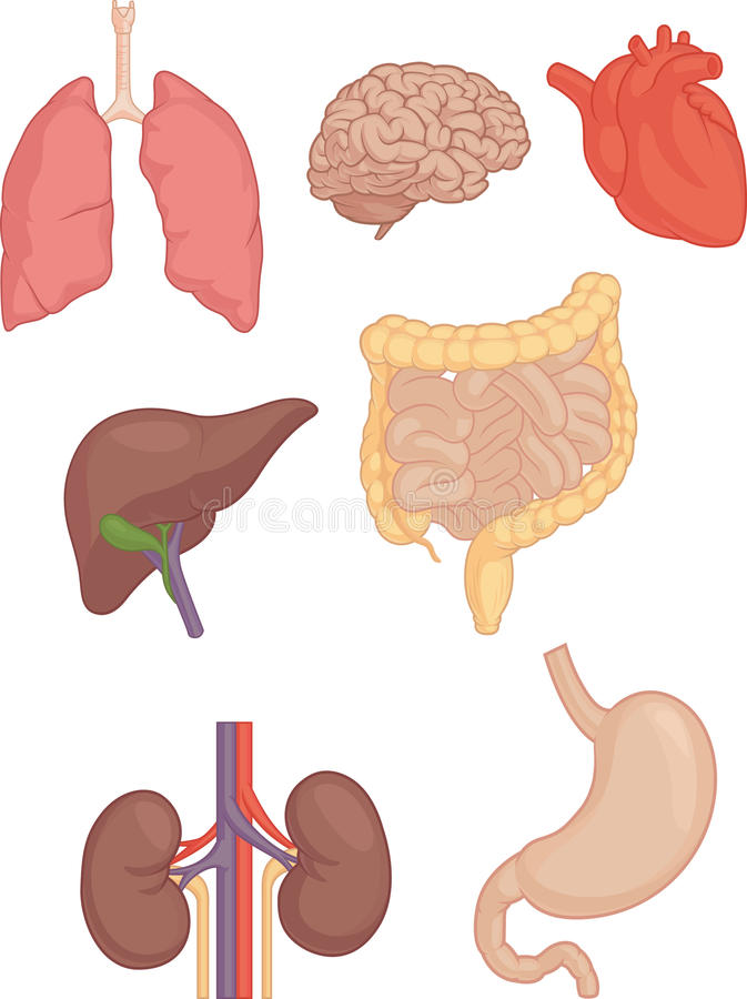 Human Body Parts Brain Lung Heart Liver Intestines Stock