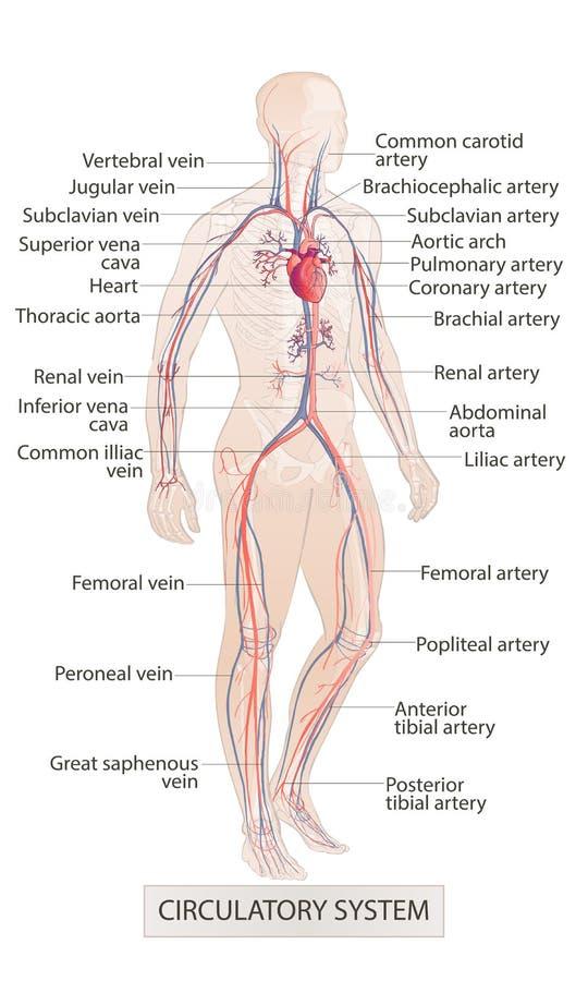 Circulatory vascular system. Human body parts. man anatomy. Hand drown vector sketch illustration isolated. Human body parts. circulatory vascular system. man royalty free illustration