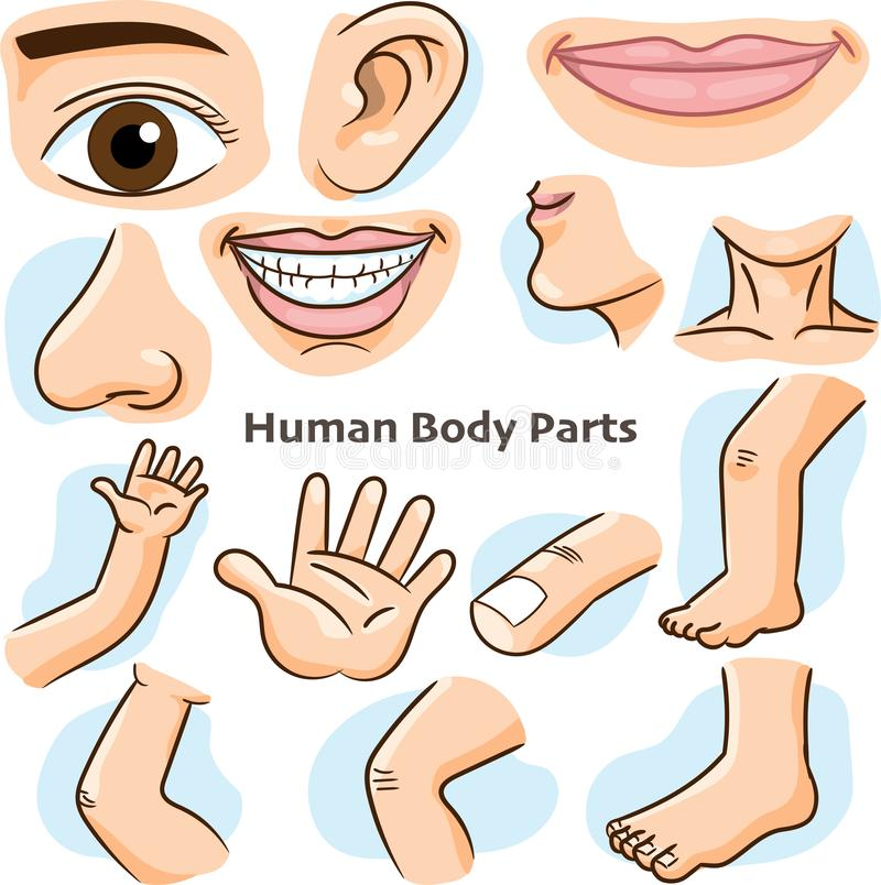 Human body parts - Vector Illustration. Human body parts, different parts of the body for teaching. Body details, cartoon flat design - Vector Illustration stock illustration
