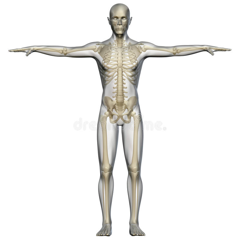 Human Body And Skeleton Stock Illustration Illustration Of Posture