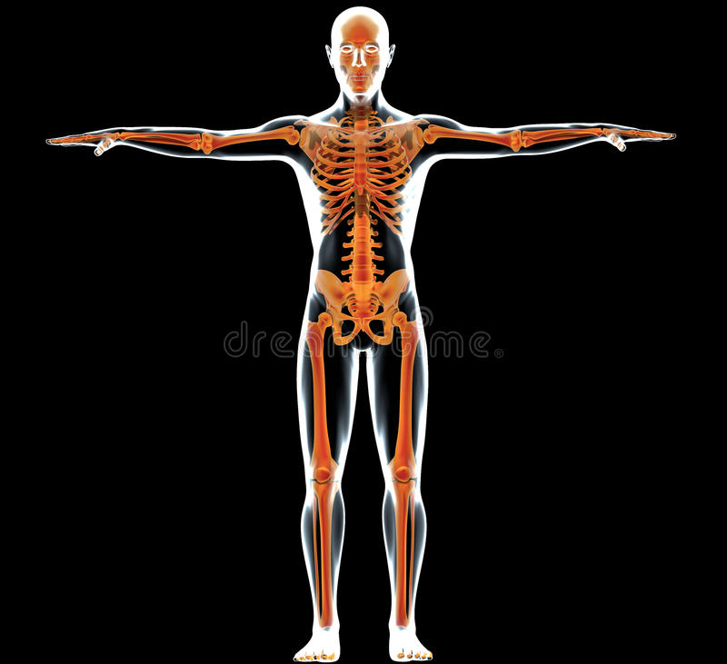 Download Human body and skeleton stock illustration. Illustration of person - 23387314